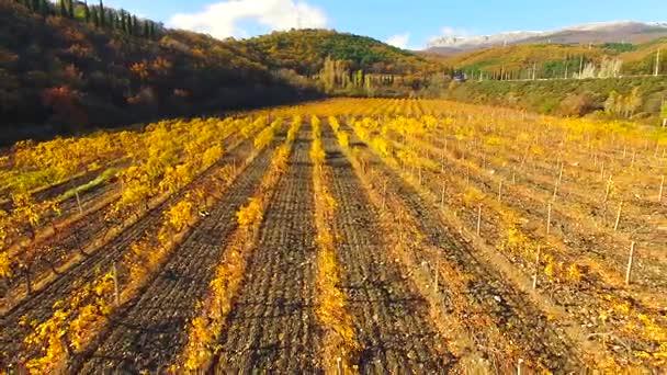 Quadrocopter létá nad řádky podzimní vinice