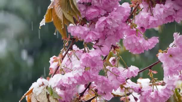 Snow is falling on purple flowers