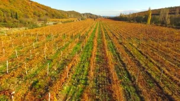 Podzim, řádky vinic z ptačí pohled
