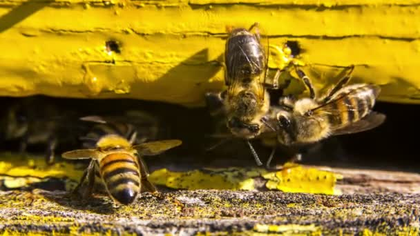 Bees guard the entrance to the hive.