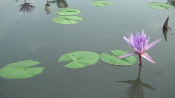 4K Beautiful Purple lLlies On Water Water Lily Flower.Lotus Flower Pond Scenery With Water Lilly Thailand.