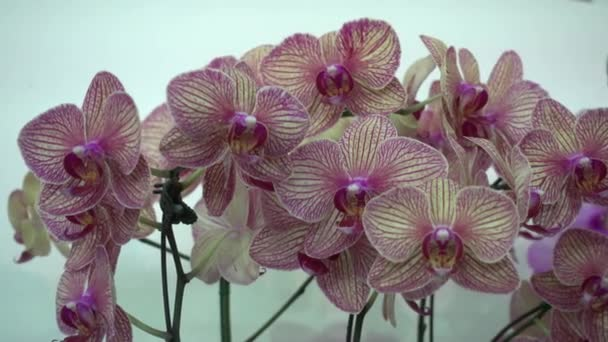 4K Close-up pink Orchid flowers of thailand