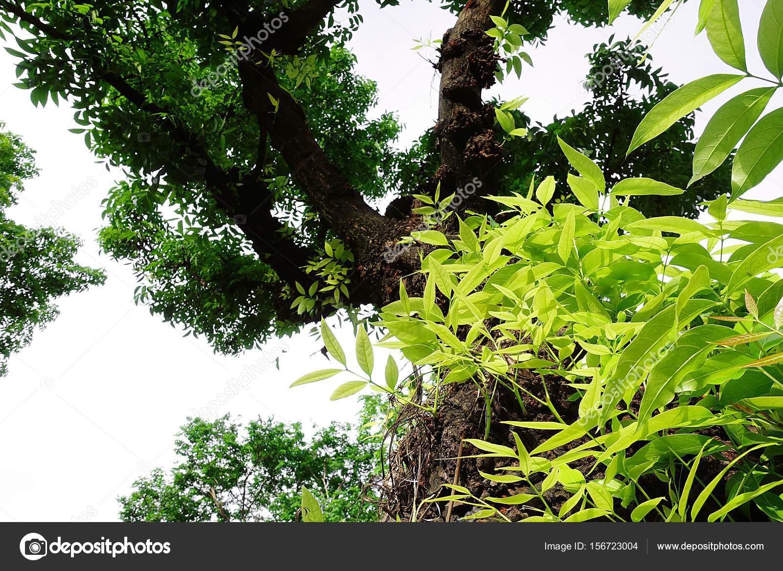 Mahagonibaum  Mahagoni-Baum Blatt grün Wald — Stockfoto © Mongpro #156723004
