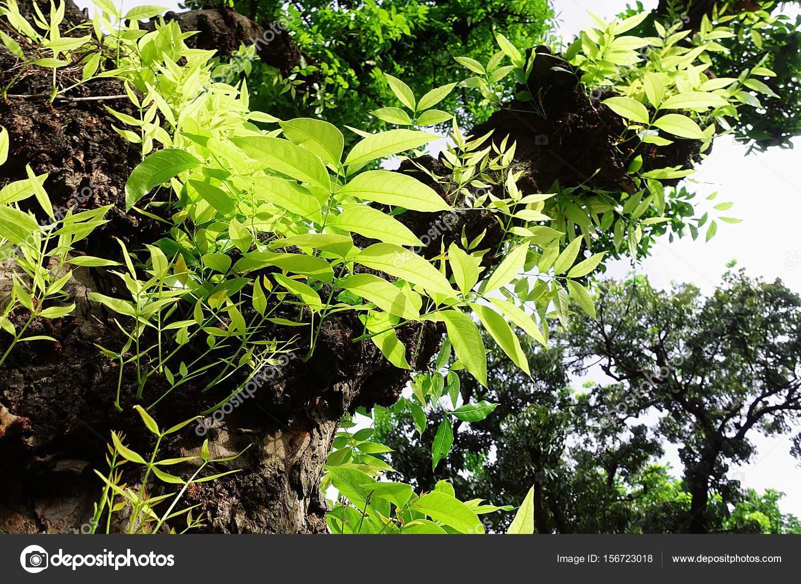 Mahagonibaum  Mahagoni-Baum Blatt grün Wald — Stockfoto © Mongpro #156723018