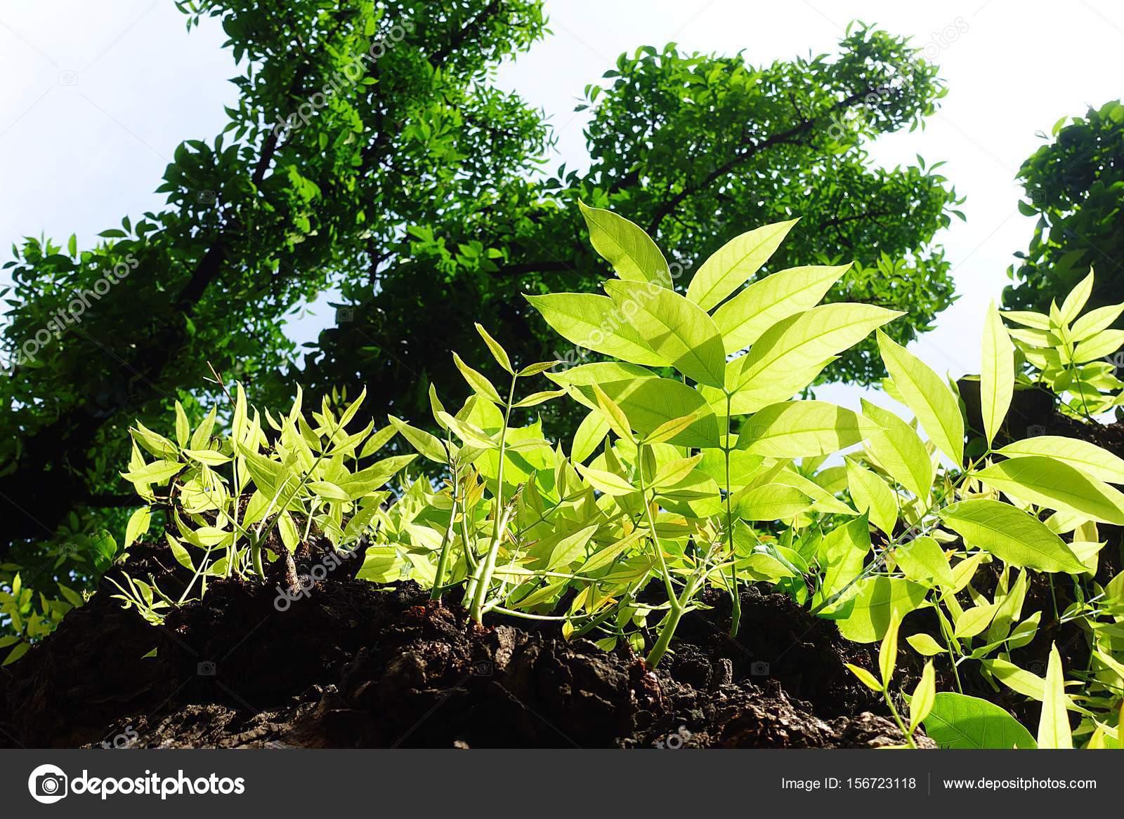 Mahagonibaum  Mahagoni-Baum Blatt grün Wald — Stockfoto © Mongpro #156723118
