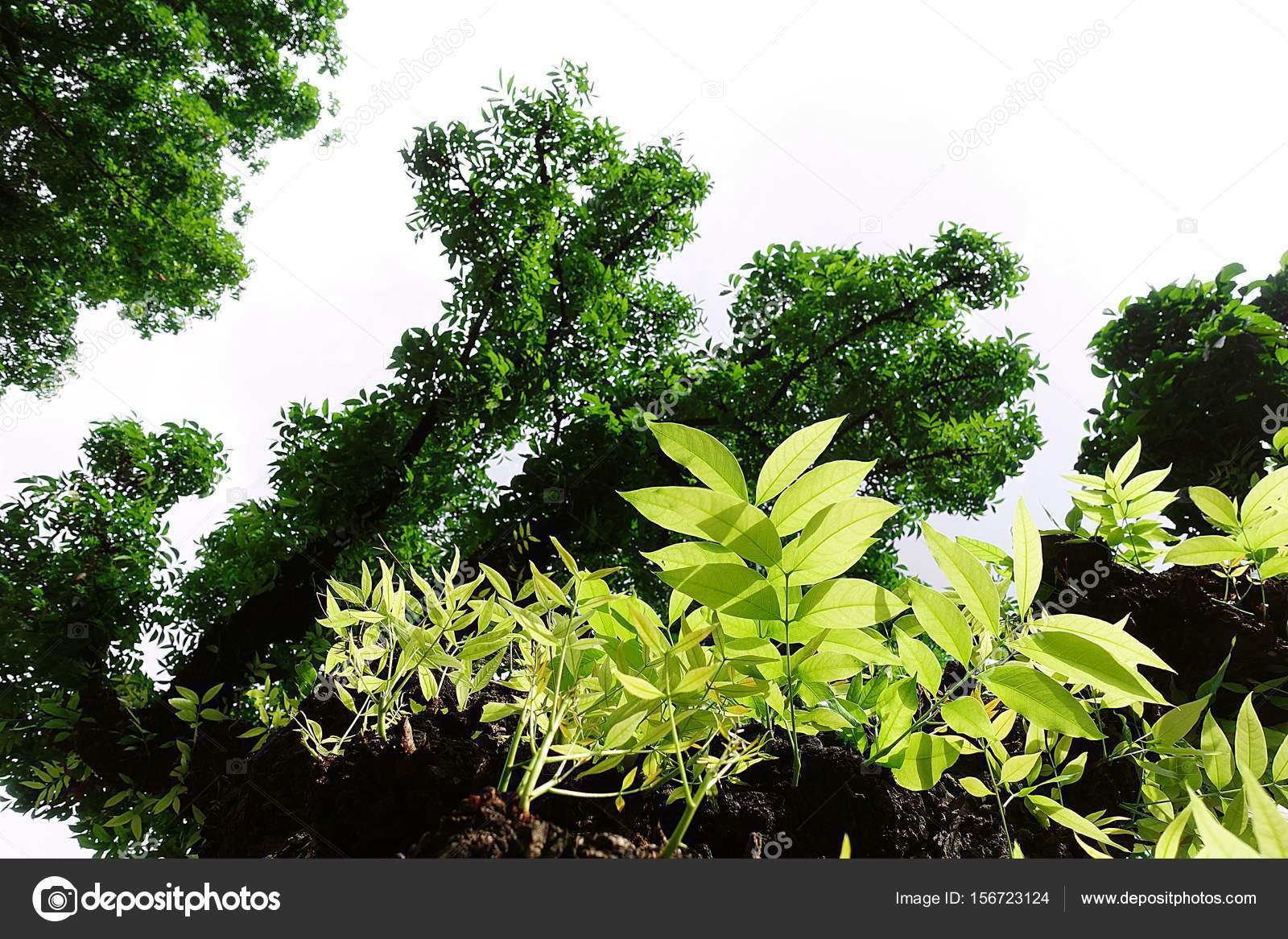 Mahagonibaum  Mahagoni-Baum Blatt grün Wald — Stockfoto © Mongpro #156723124