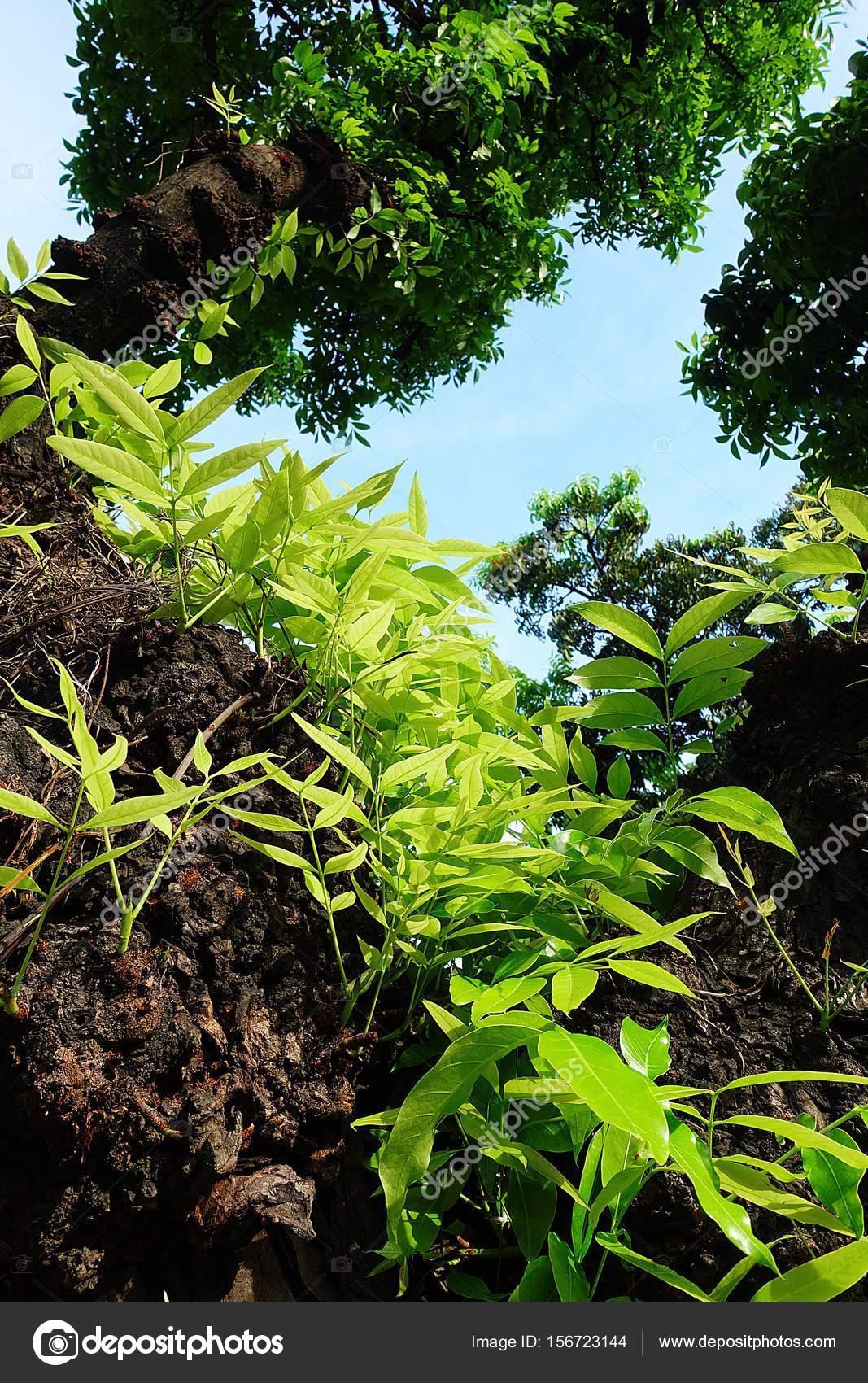 Mahagonibaum  Mahagoni-Baum Blatt grün Wald — Stockfoto © Mongpro #156723144