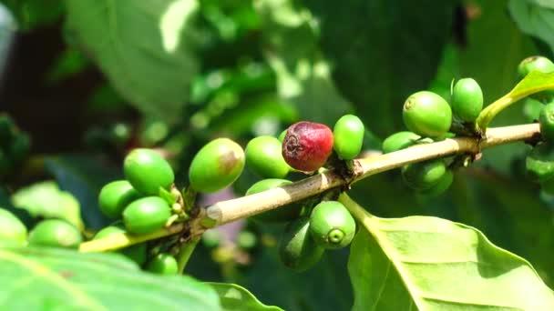 4k ve stromu čerstvé kávy arabica zrnková káva