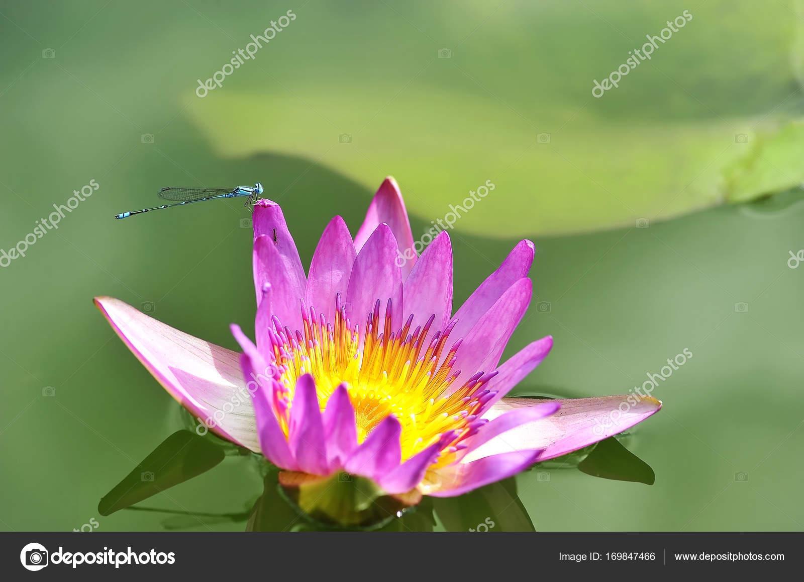 Beautiful lotus thai green leaf stock photo mongpro 169847466 beautiful lotus thai green leaf photo by mongpro izmirmasajfo