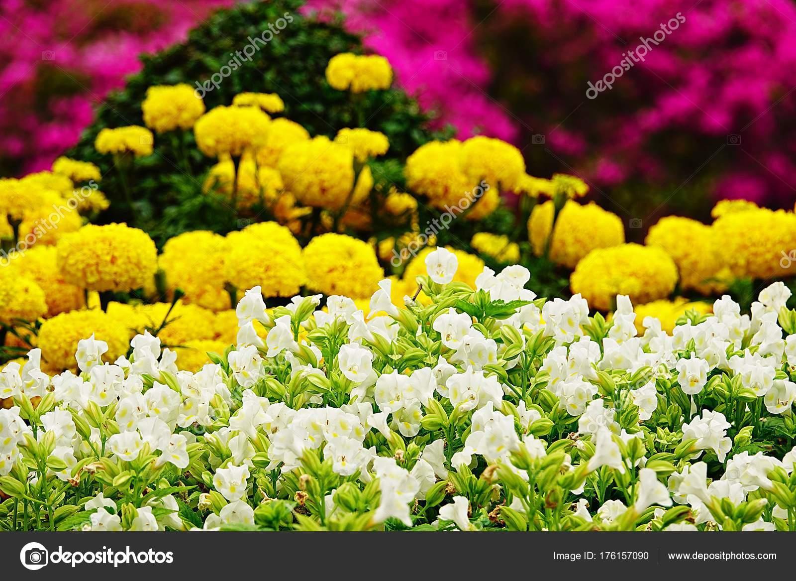 白いパンジー曖昧さ回避の庭の花...