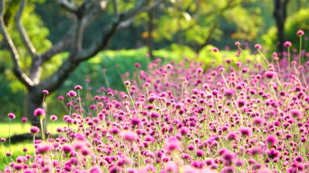 4 k krásné barevné růžové koule amarant měkké světlo přírodní park letní venkovní pozadí