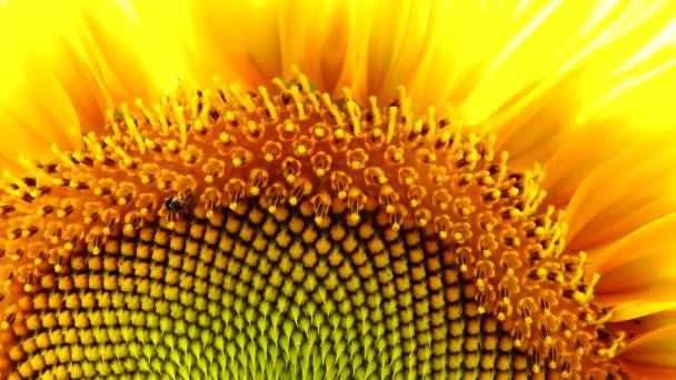 4 k slunečnicový květ pyl detailní pozadí