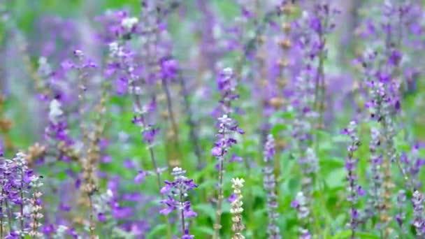 HD super lassú szép levendula virág méh háttér