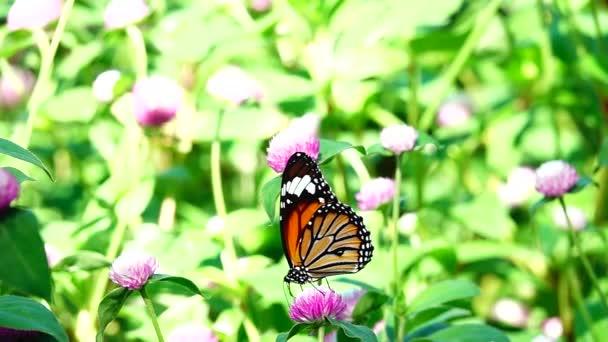 Hd 1080p super pomalé thajské motýl na pastvině růžové květy hmyzu venkovní příroda