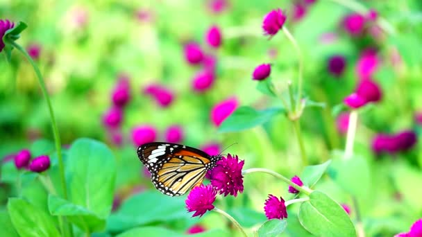 HD 1080p super slow Thai butterfly in pasture pink flowers Insect outdoor nature
