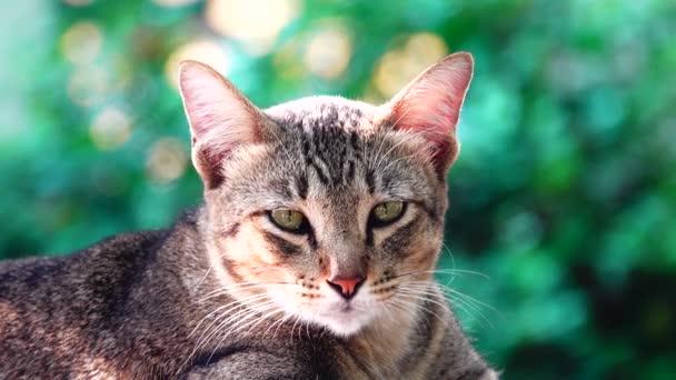 4k Sárga Thai macska fekszik az asztalon. Közelkép kisállat keret