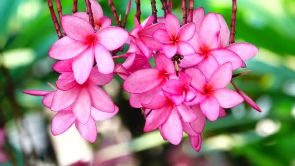 4k Természet közel rózsaszín plumeria virág egy faágon trópusi kert Paradicsom trópusi virág mozog a szél