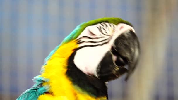 4k Blue and Yellow Macaw (Ara arauna) Closeup