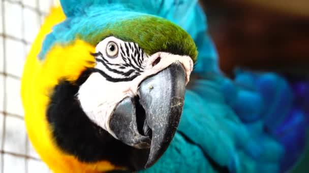 4K Blue and Yellow Macaw (Ara ararauna) Closeup