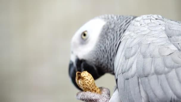 4k Detail portrét krásného šedého papouška. Africký papoušek šedý