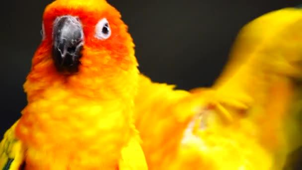 4k Slunce papoušek krásné barvy žluté oranžové a červené (Aratinga solstitialis) také známý jako slunce conure v Thajsku.