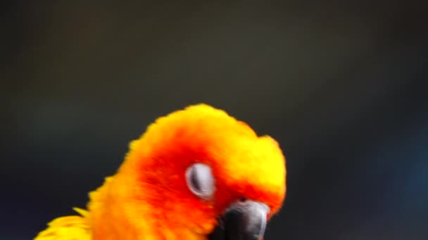 4K The sun parakeet beautiful colours of yellow orange and red (Aratinga solstitialis) also known as the sun conure in thailand.