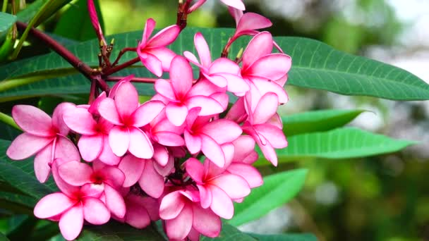 4K Nature close up of pink plumeria flower on a tree branch tropical garden  Paradise tropical flower moving in the wind