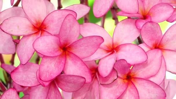 4k Příroda zblízka růžová plumeria květ na větvi stromu tropické zahrady ráj tropické květiny pohybující se ve větru