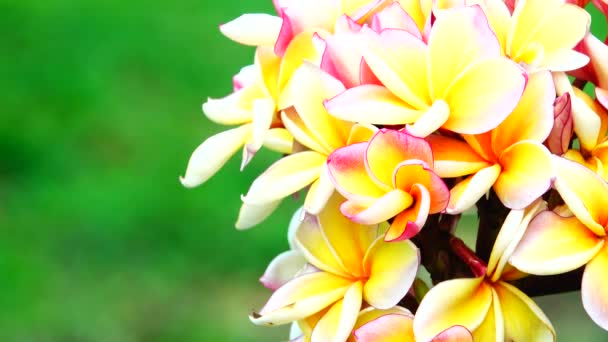 4K Nature close up of white yellow pink plumeria flower on a tree branch