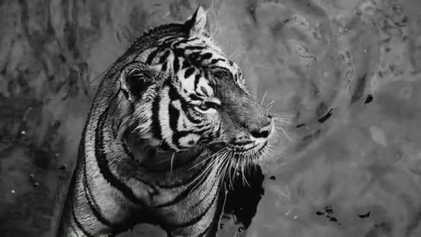 Hd 1080p szuper lassú tigris, Panthera tigris altaica, alacsony látószögű fotó, fut a flick víz Támadó ragadozó akció közben. Tigris a vízben
