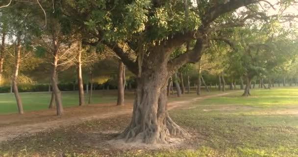 évszázados szentjánoskenyérfa a mediterrán erdőben
