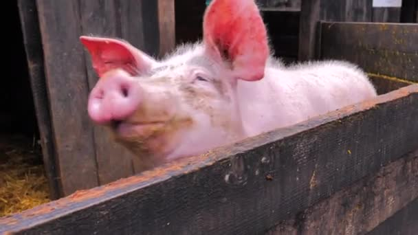 Close-up portrait of pink pig with big ears growling with its snout