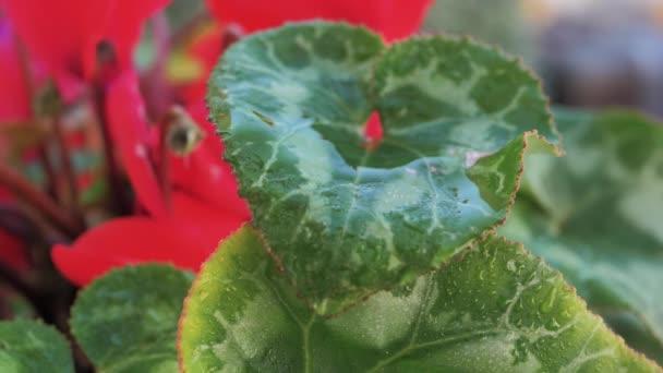 Makro kapky vody kaskádovité ve zpomaleném pohybu ze zeleného listu s červenými okvětními lístky do květináče rostlinného pozadí