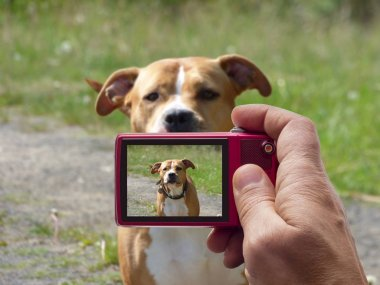 Guarding pit bull dog in camera viewfinder