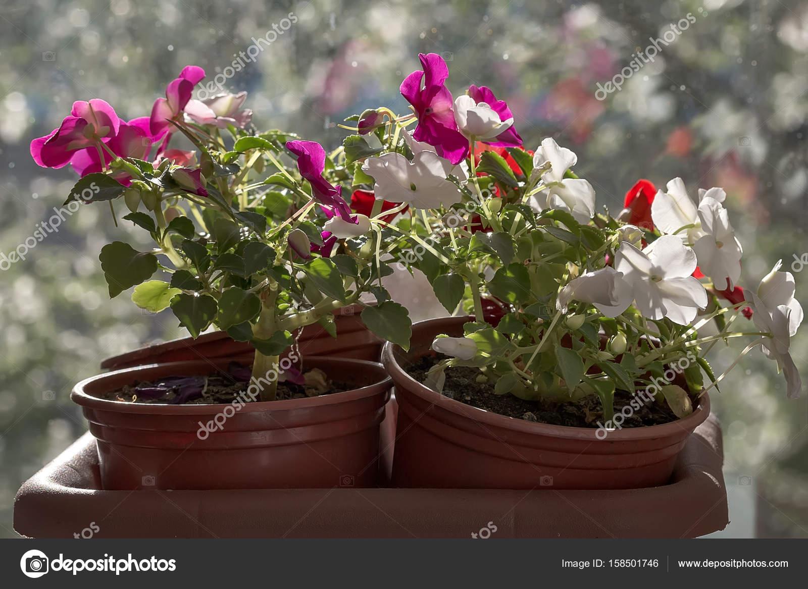 Цветок в горшке фото цветет