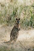 Fotografia Wallaby (Macropodidae Macropus)