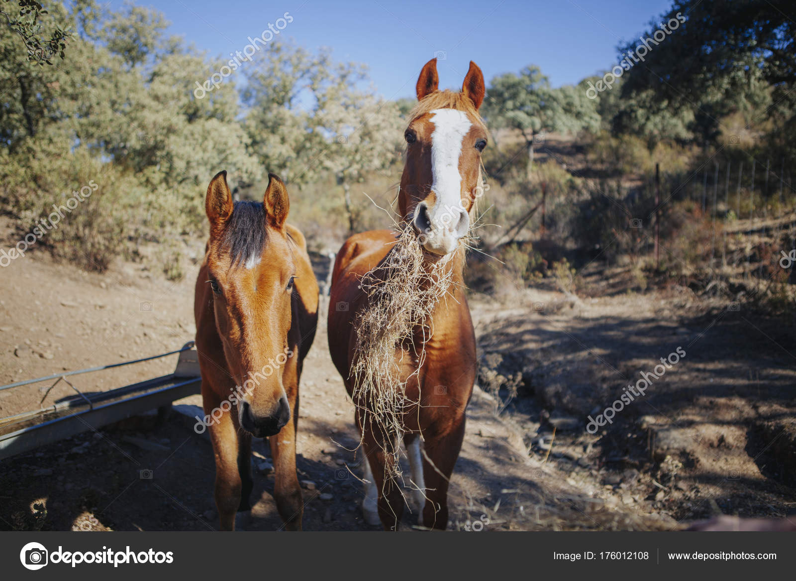 Funny Portrait Of Two Beautiful Horses Eating Grass While Looking At Camera Stock Photo C Daviles 176012108