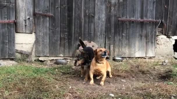 Two dogs barking in the front of wooden door.