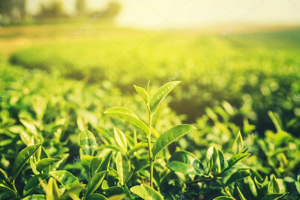 Fresh tea leaves in morning with sunlight