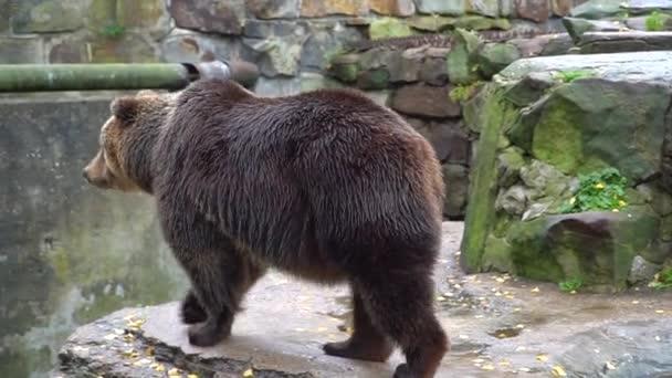 Brown bear walks on rocks in the zoo. A wild animal in captivity.