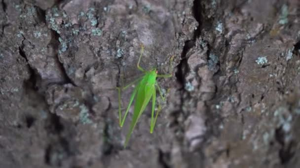 Green Grasshopper Crawling on a Tree