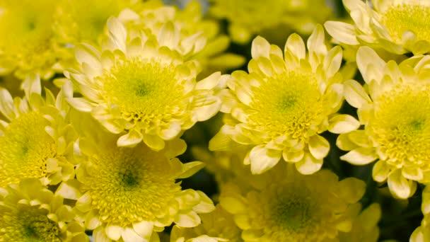 květina žlutá chryzantéma