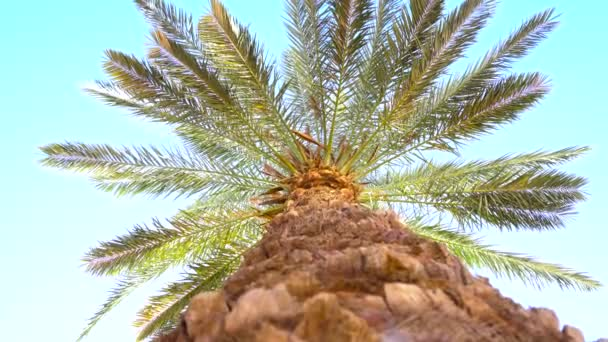Low Angle of a Long Coconut Palm Trunk
