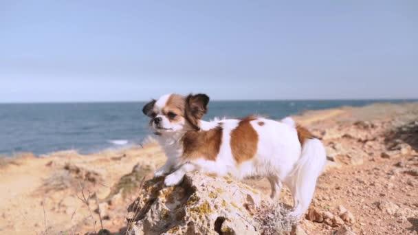 Kicsi és barátságos chihuahua kutya időt a szabadban