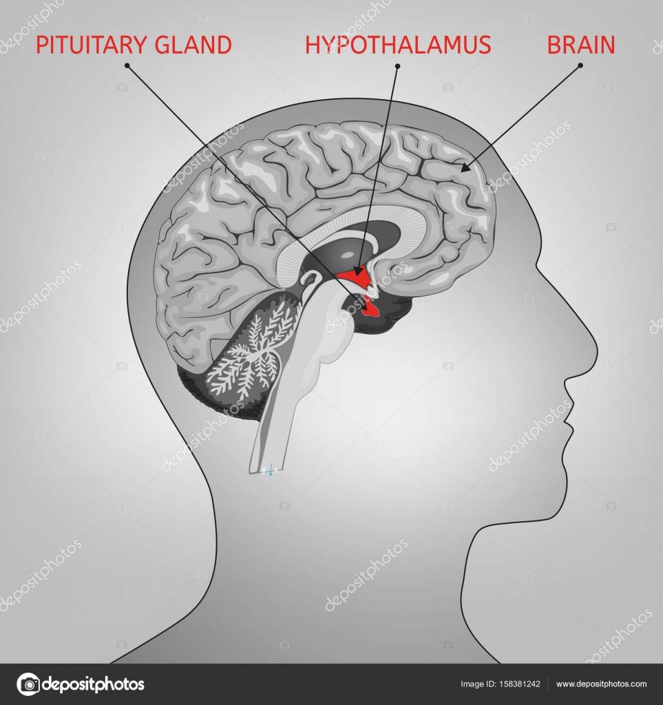 Imagen del sistema endocrino — Archivo Imágenes Vectoriales ...