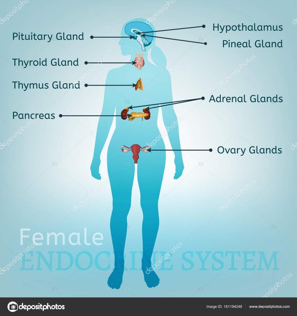 Sistema endocrino mujer — Vector de stock © annyart #161194248