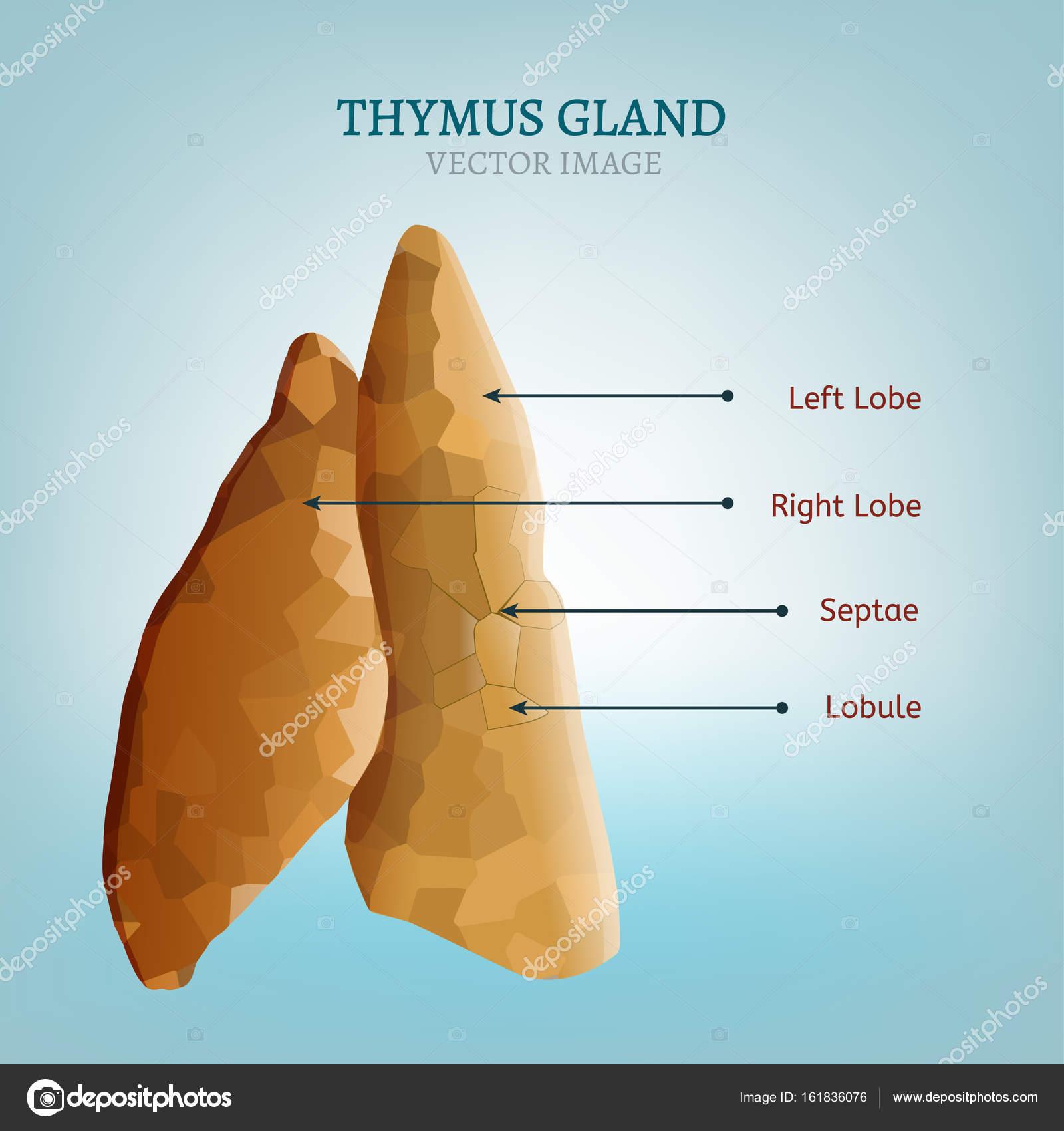 Thymus Gland Image Stock Vector Annyart 161836076