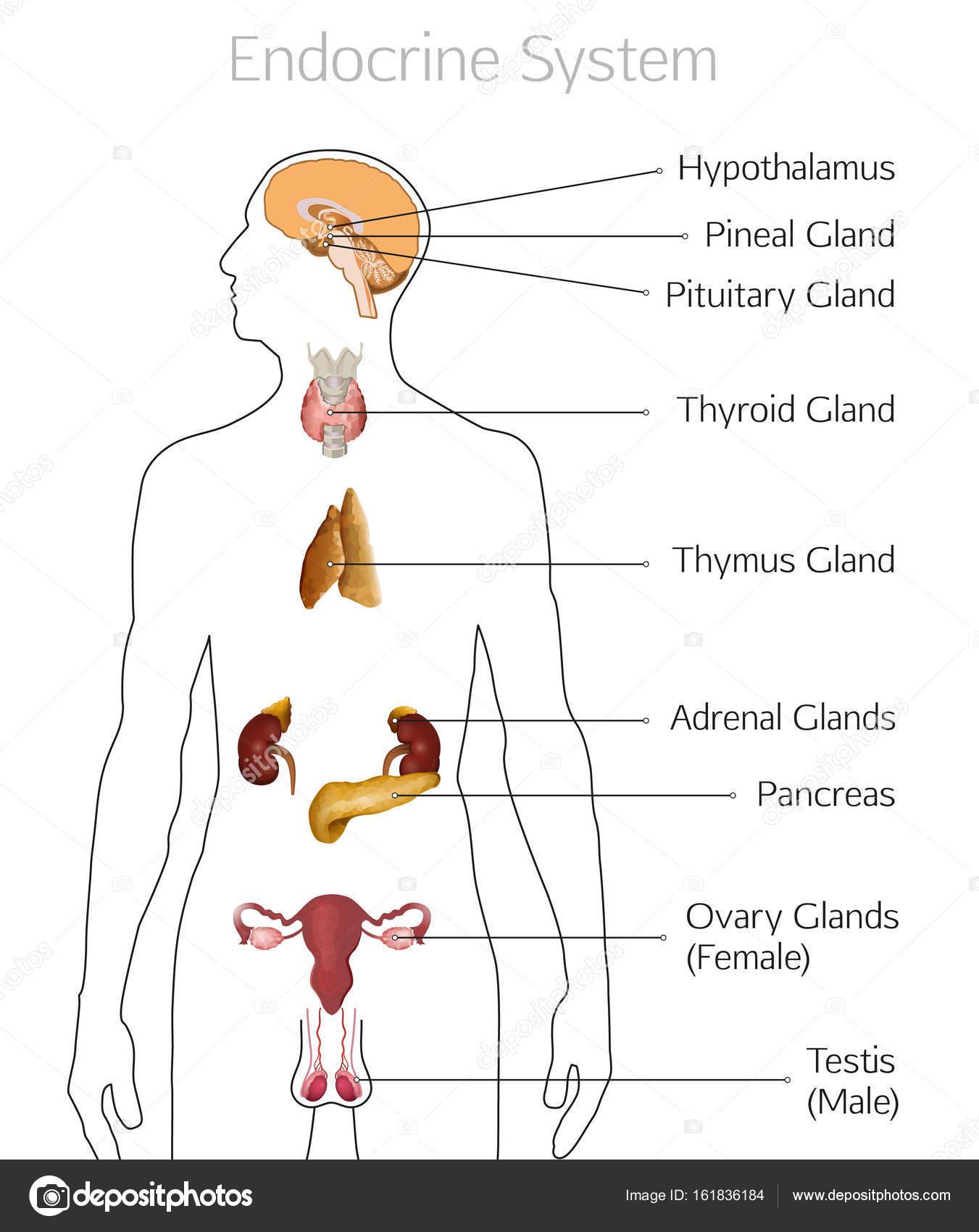 Endokrinen System-Image — Stockvektor © annyart #161836184