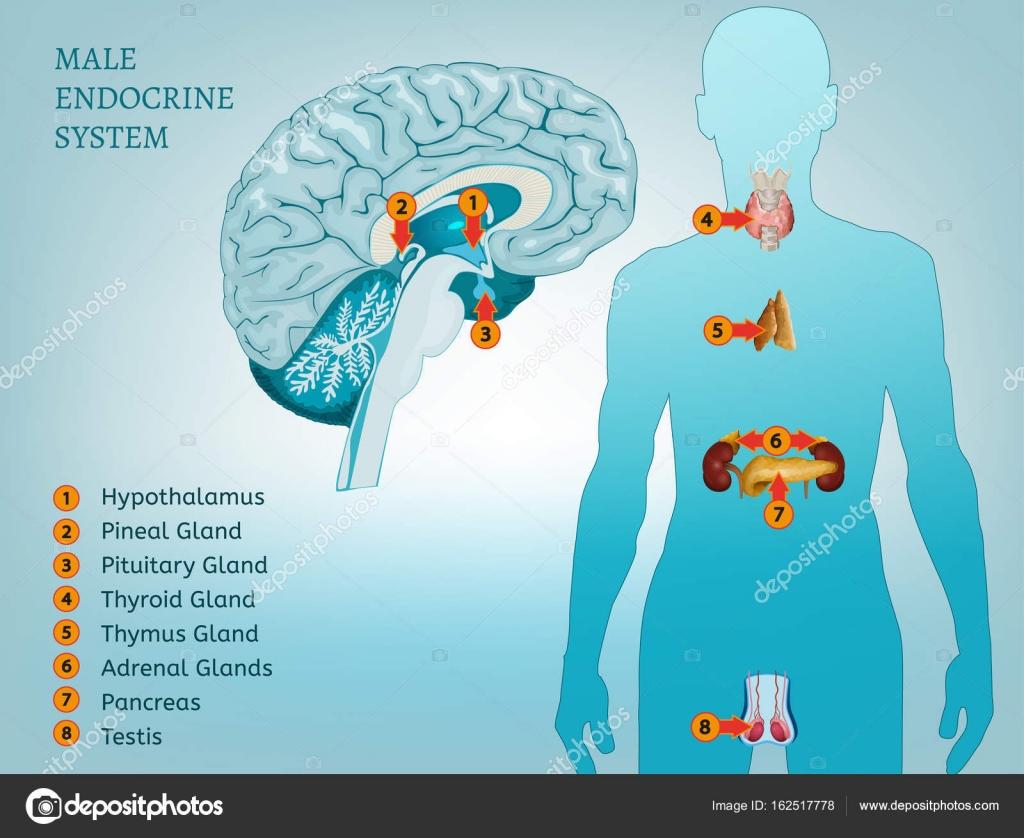 Endokrinen System-Image — Stockvektor © annyart #162517778