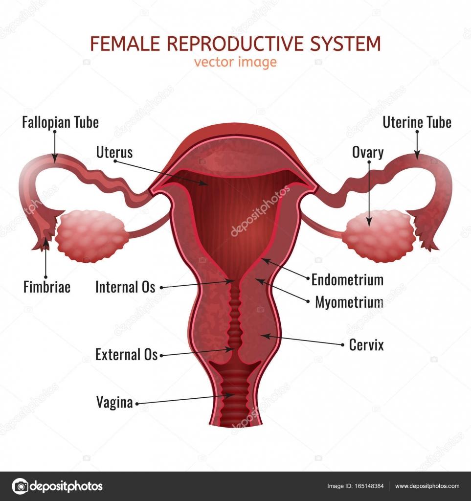 weibliche Fortpflanzungssystem — Stockvektor © annyart #165148384